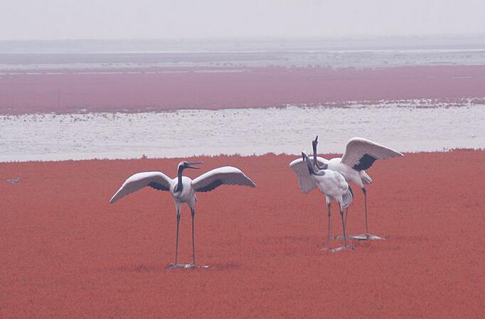 著名的红海滩风景区坐落于辽宁省盘锦市大洼县赵圈河乡境内,总面积20